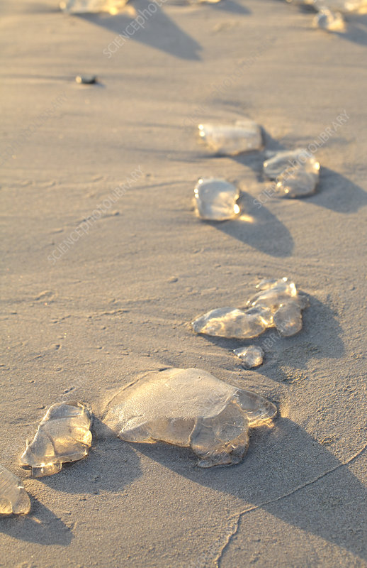 Jellyfish pieces on a beach