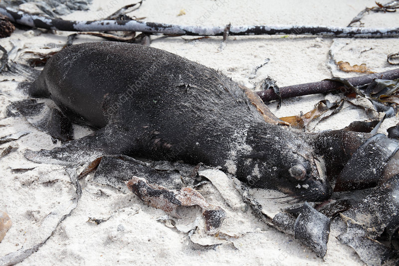 Dead juvenile Cape fur seal