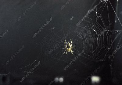 Spider and web woven in zero gravity
