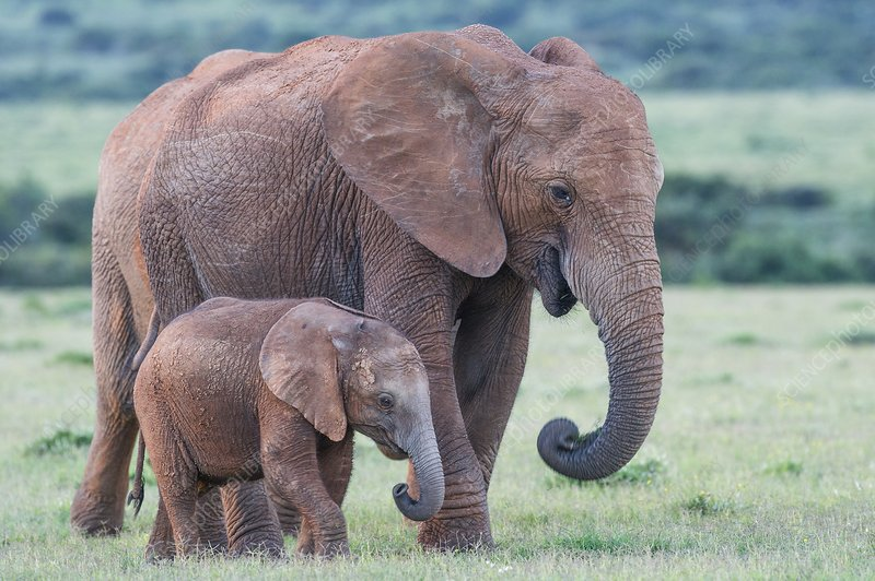 African elephant cow walking with calf