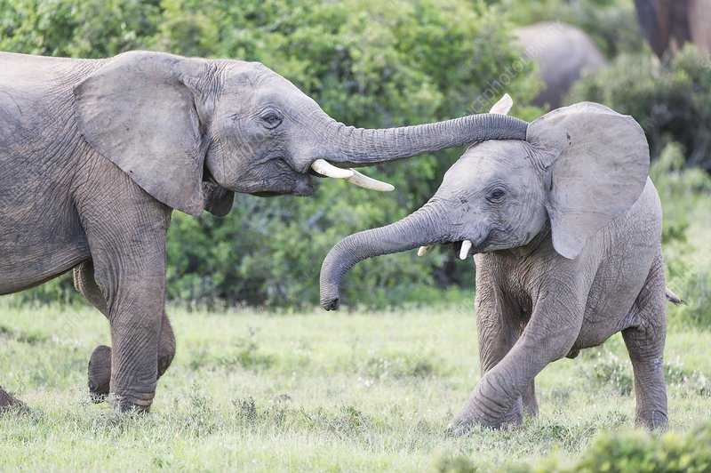 Young African Elephants playing