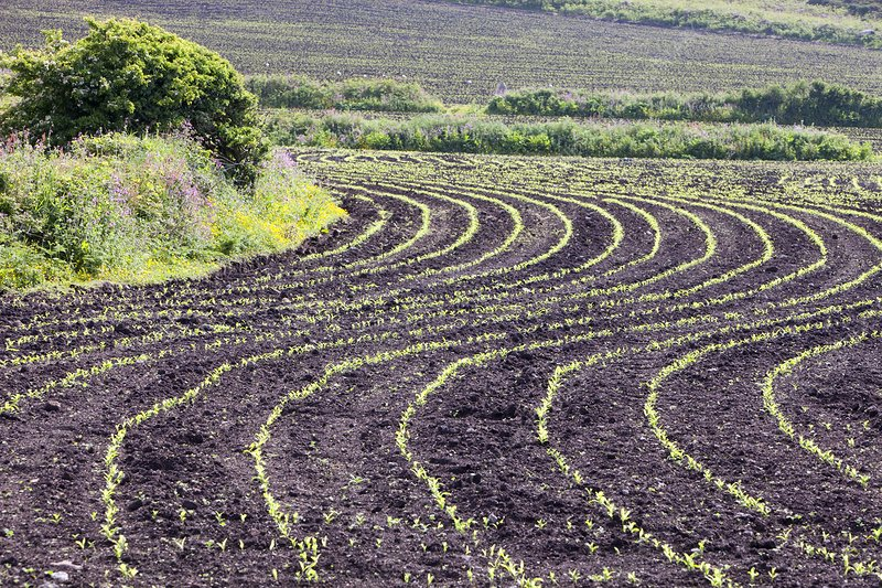 Maize crops planted in a wavy line