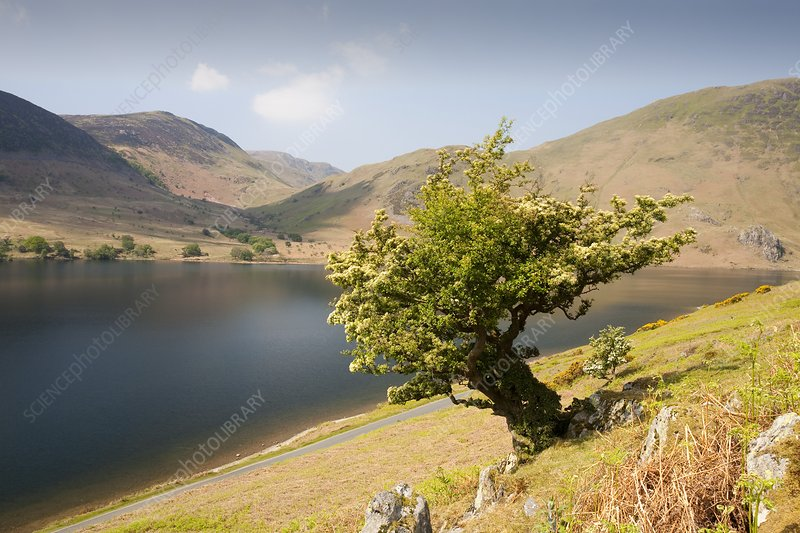 A Hawthorn tree above Buttermere