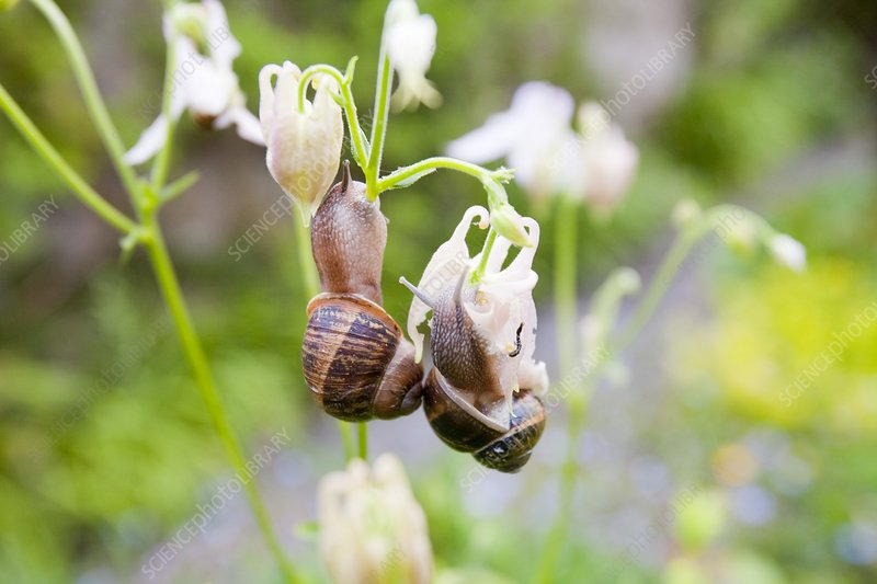 Garden snails feeding on flowers