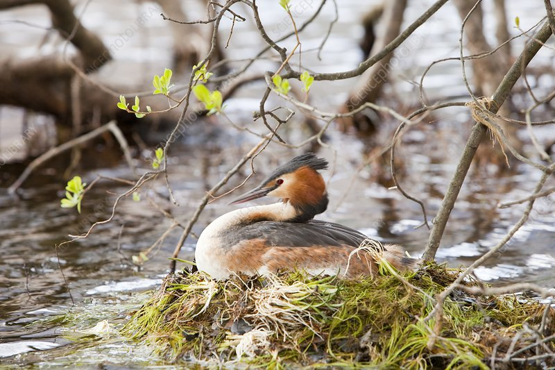 A Great Crested Grebe