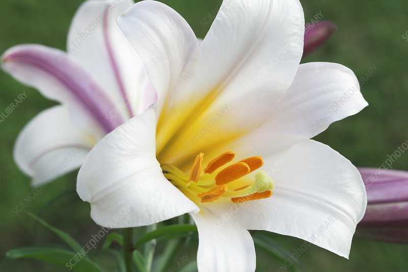 Regal lily (Lilium regale)