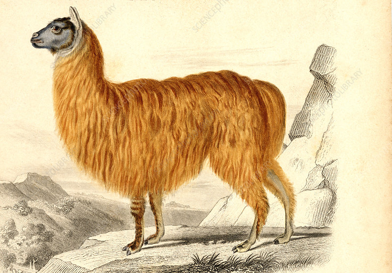 Alpaca, 19th Century illustration