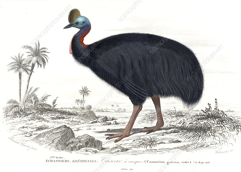 Cassowary, 19th Century illustration