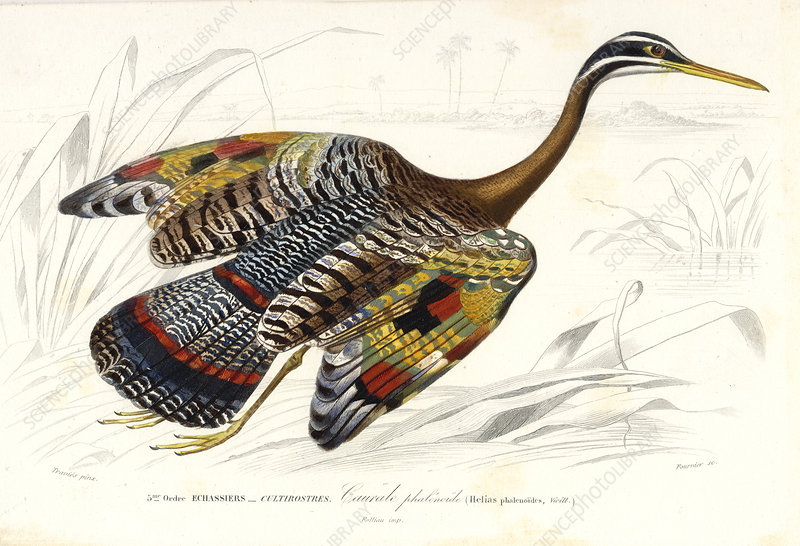 Sunbittern, 19th Century illustration