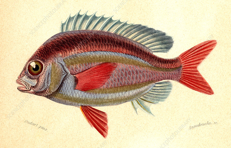 Whitecheek monocle bream, illustration