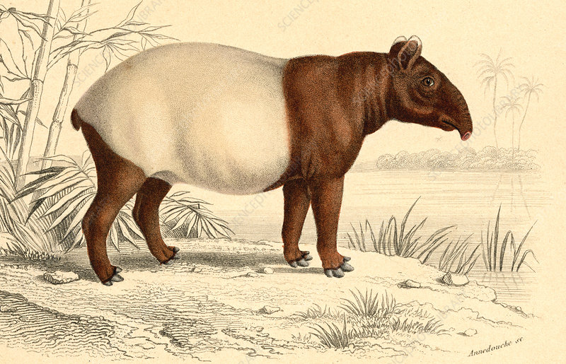 Indian tapir, 19th Century illustration