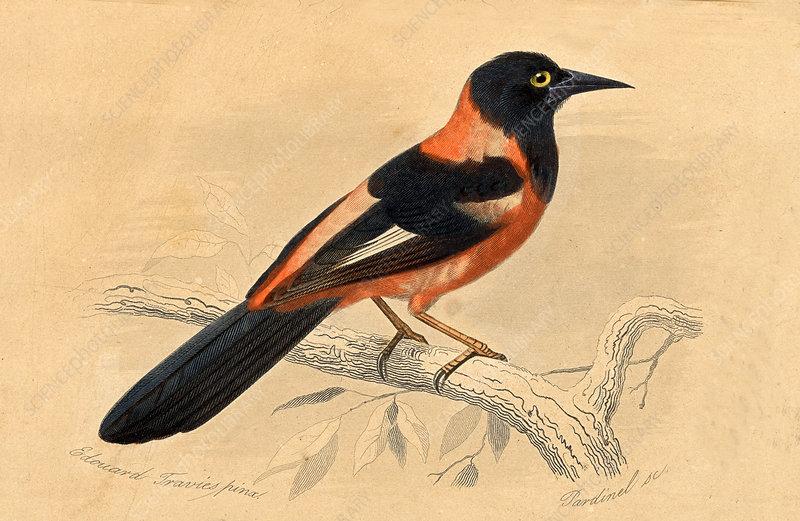 Xanthorus aurantius, 19th C illustration