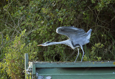Grey heron stretching its wings