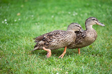 Female mallard duck rivalry