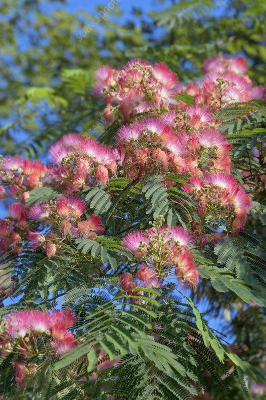 Silktree (Albizia julibrissin)