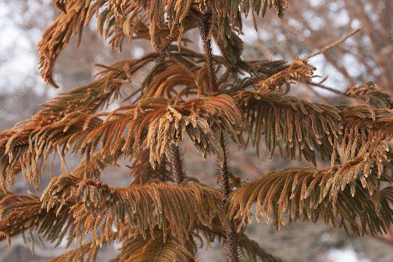 Norfolk Island pine (A. heterophylla)