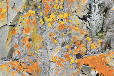 Xanthoria lichen on a rock