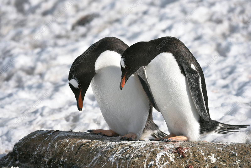 Gentoo penguins pair bonding