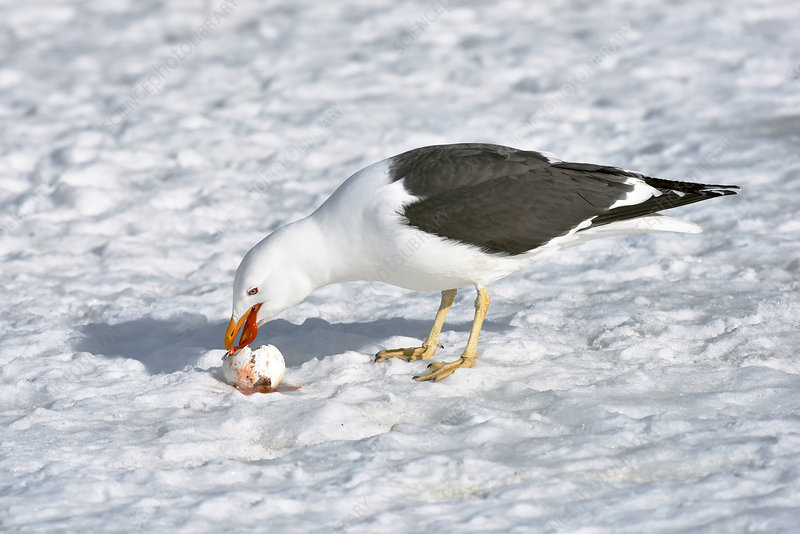 Kelp gull eating a penguin egg