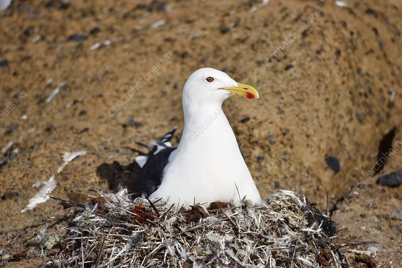 Kelp gull on its nest