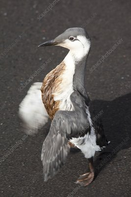 Guillemot covered in oil
