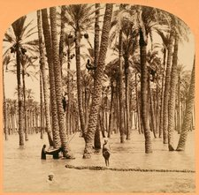 Date palms and Nile flood, Egypt, 1890s