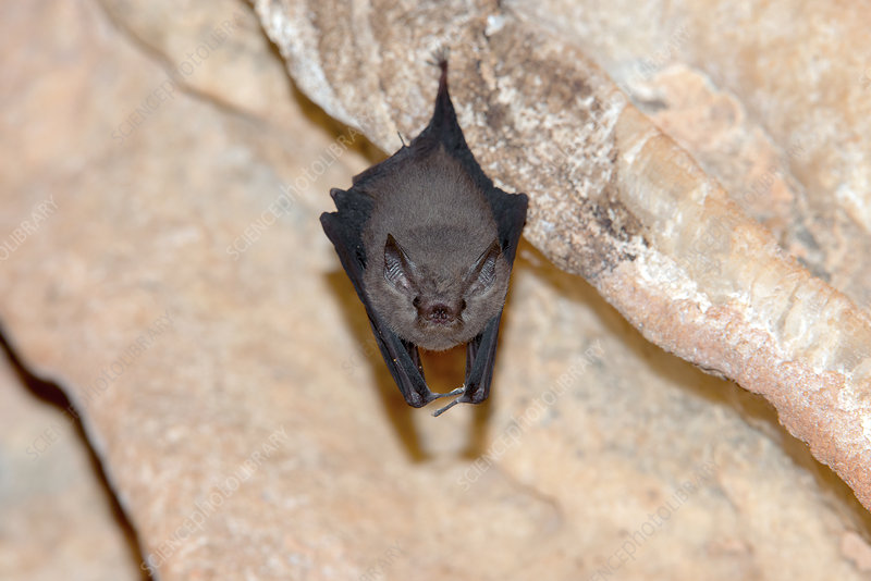 Western sheath-tailed bat