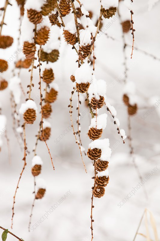 Snow on Larch cones, Ambleside, UK