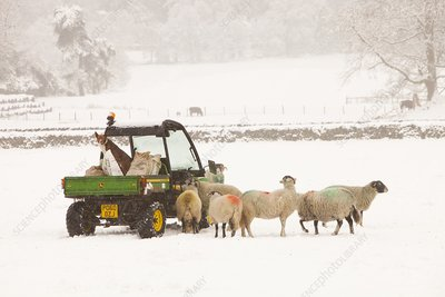 Farmer feeding sheep in winter