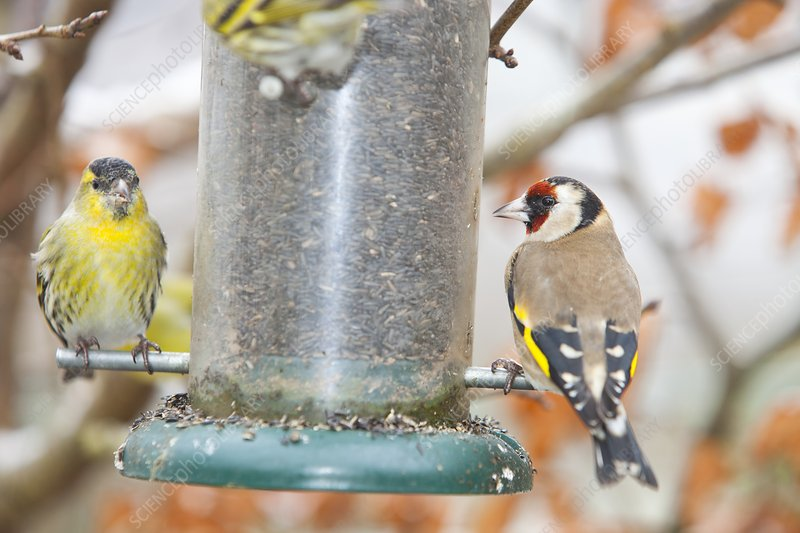 Siskins and Goldfinch on feeder