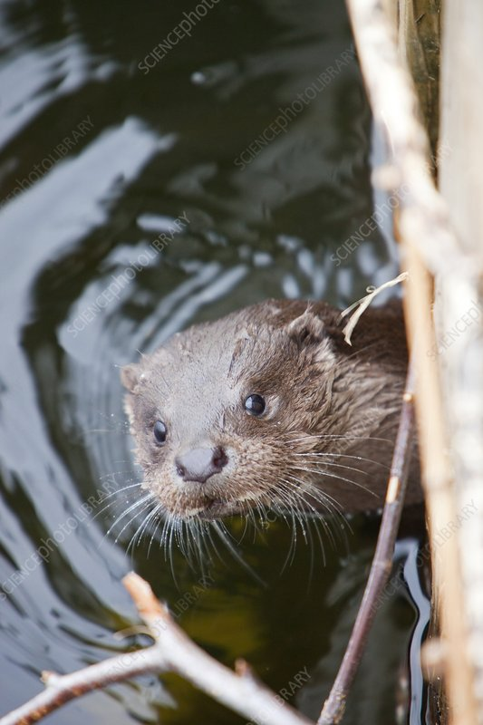 European Otter, Lake Windermere, UK
