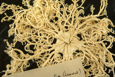Giant basket star
