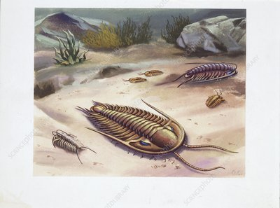 Trilobites, illustration