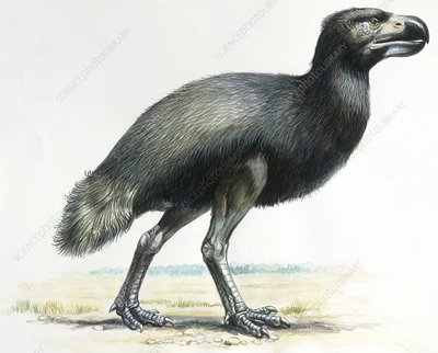 Gaston's bird, illustration