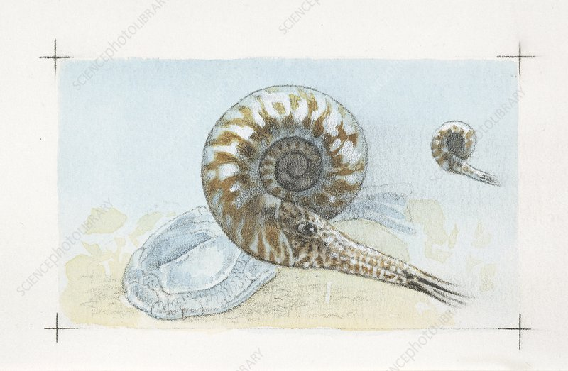 Goniatite ammonites, illustration