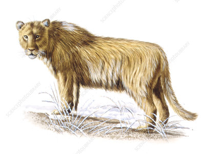 Cave lion, illustration