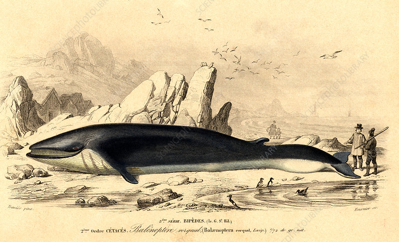 Fin whale hunting, illustration