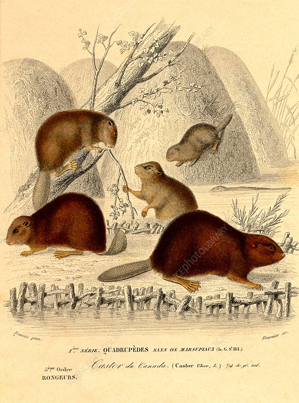 European beavers, illustration