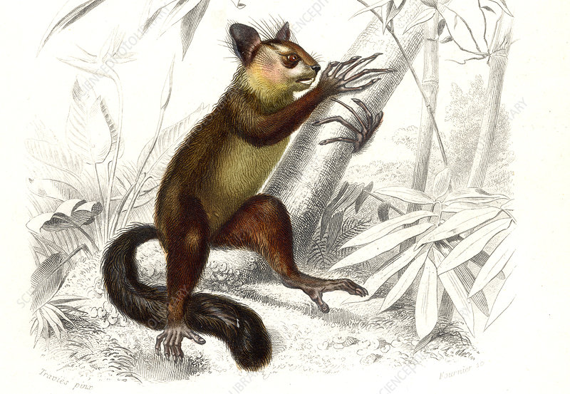 Aye-aye, 19th Century illustration