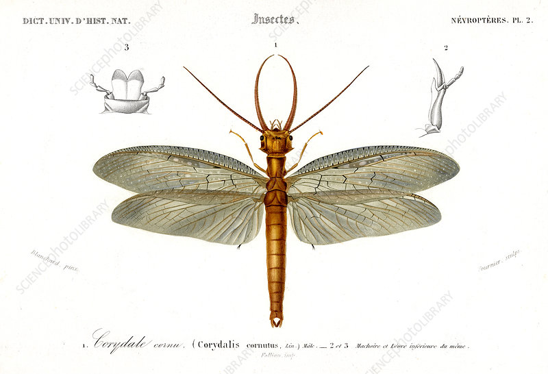 Dobsonfly, 19th Century illustration