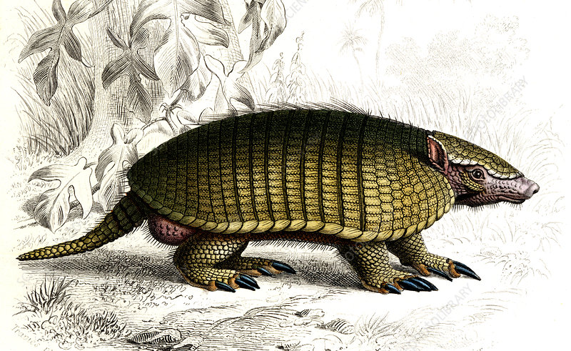 Long-nosed armadillo, illustration