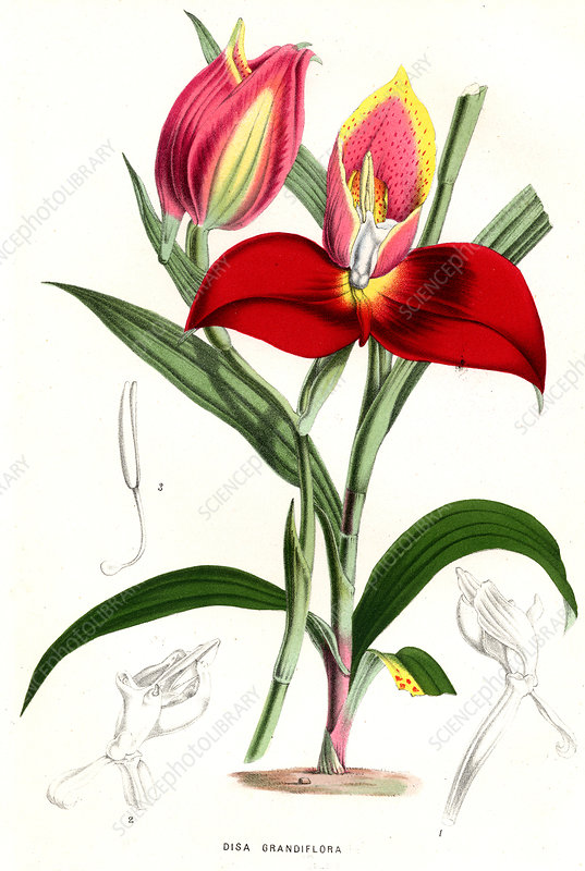 Disa grandiflora, illustration