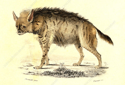 Hyena, 19th Century illustration