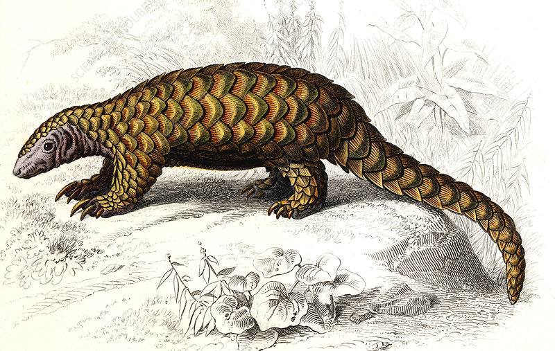 Pangolin, 19th Century illustration