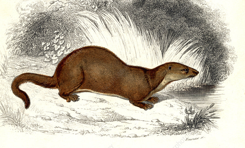 Weasel, 19th Century illustration