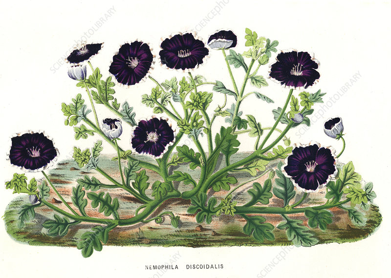 Nemophila discoidalis, illustration