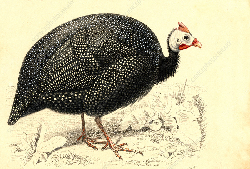 Helmeted guineafowl, illustration
