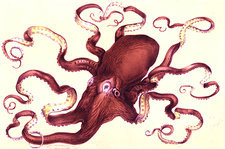 Octopus, 19th Century illustration