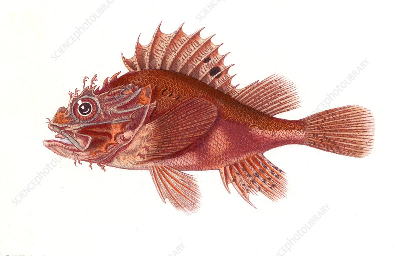 Black scorpionfish, illustration