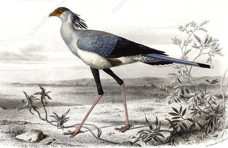 Secretary bird, 19th Century illustration